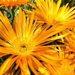 Fiori Boltei Arancioni